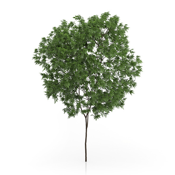 Elderberry Tree (Sambucus nigra) 3.3m - 3DOcean Item for Sale