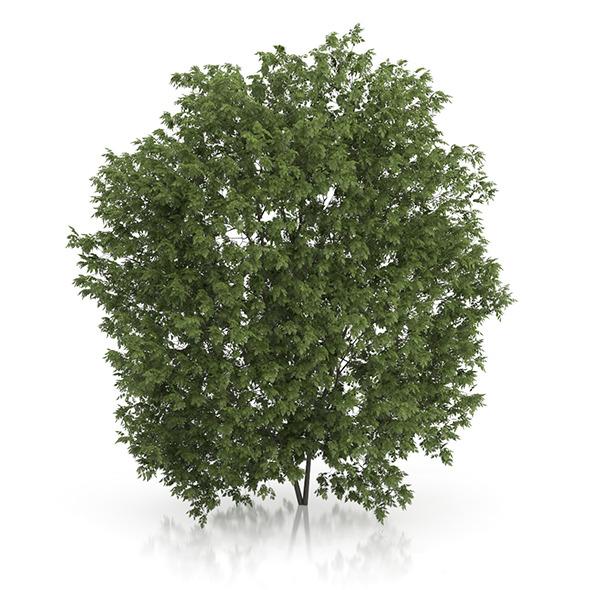 Hackberry Tree (Prunus padus) 4.3m - 3DOcean Item for Sale
