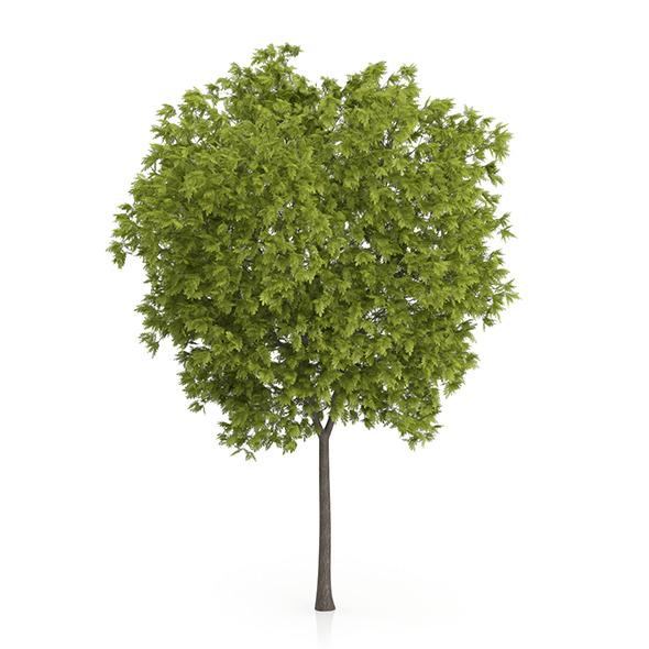 Honey Locust Tree (Gleditsia triacanthos) 11.7m - 3DOcean Item for Sale