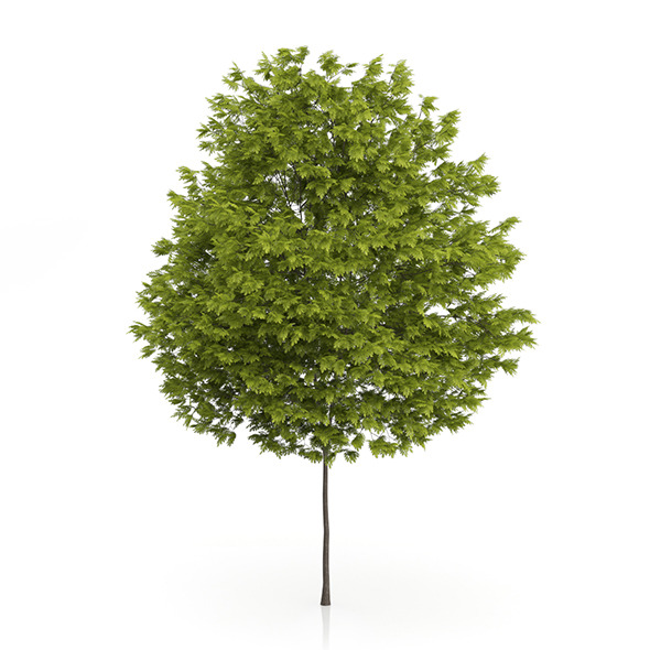 Honey Locust Tree (Gleditsia triacanthos) 10m - 3DOcean Item for Sale