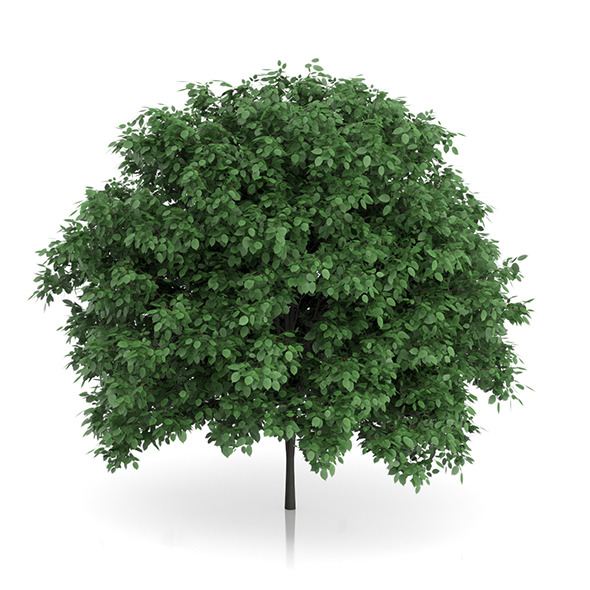 Common Hornbeam Tree (Carpinus betulus) 4.6m - 3DOcean Item for Sale
