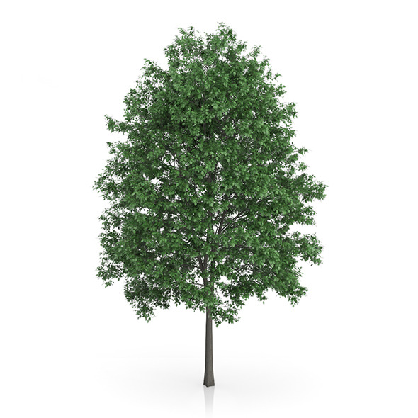 Common Hornbeam Tree (Carpinus betulus) 14.5m - 3DOcean Item for Sale