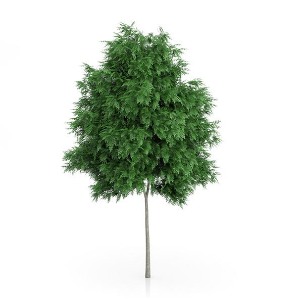Rowan Tree (Sorbus aucuparia) 6.2m - 3DOcean Item for Sale