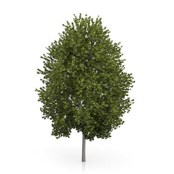 Norway Maple Tree (Acer platanoides) 4.5m - 3DOcean Item for Sale
