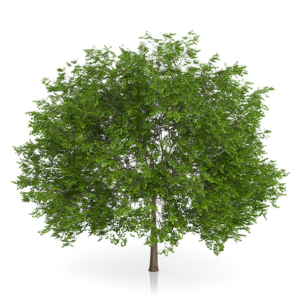 Maidenhair Tree (Ginkgo biloba) 5.2m - 3DOcean Item for Sale