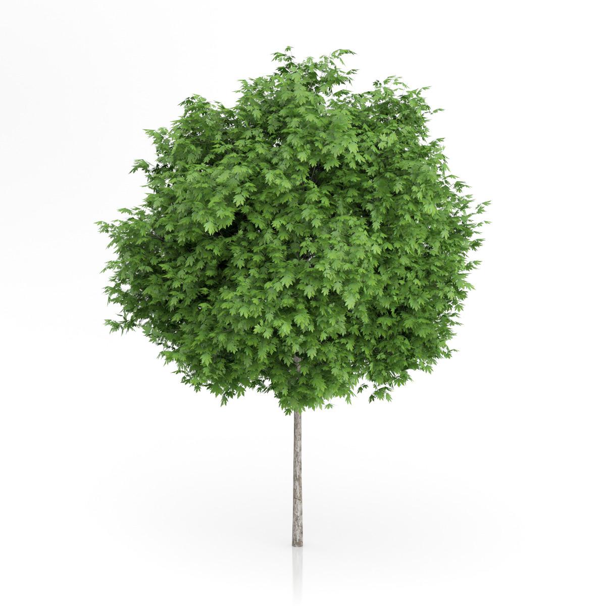 London Plane Tree (Platanus × acerifolia) 5.5m by CGAxis ...
