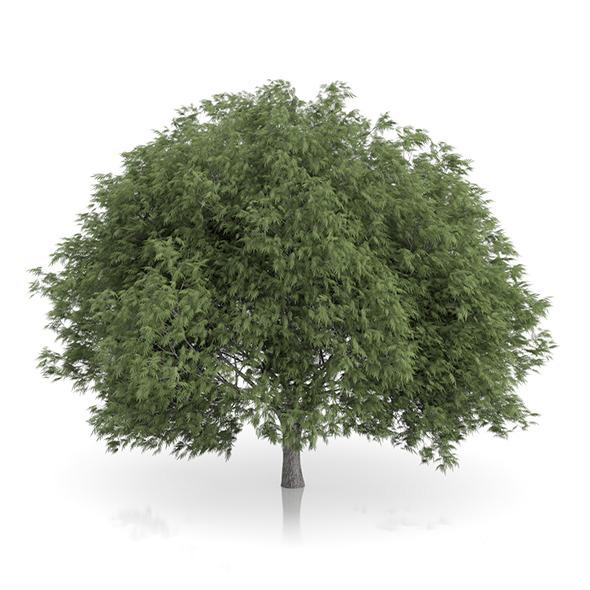 Crack Willow Tree (Salix fragilis) 12.8m - 3DOcean Item for Sale