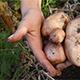 Organic Potatoes - VideoHive Item for Sale