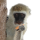Monkey Eating Mango in a Tree - VideoHive Item for Sale