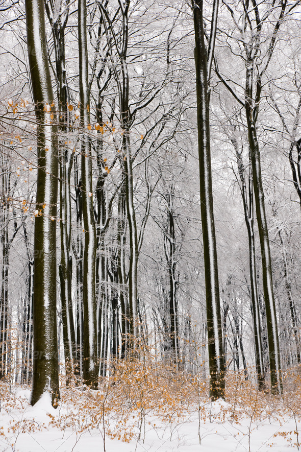 Beech tree forest in Winter - Stock Photo - Images