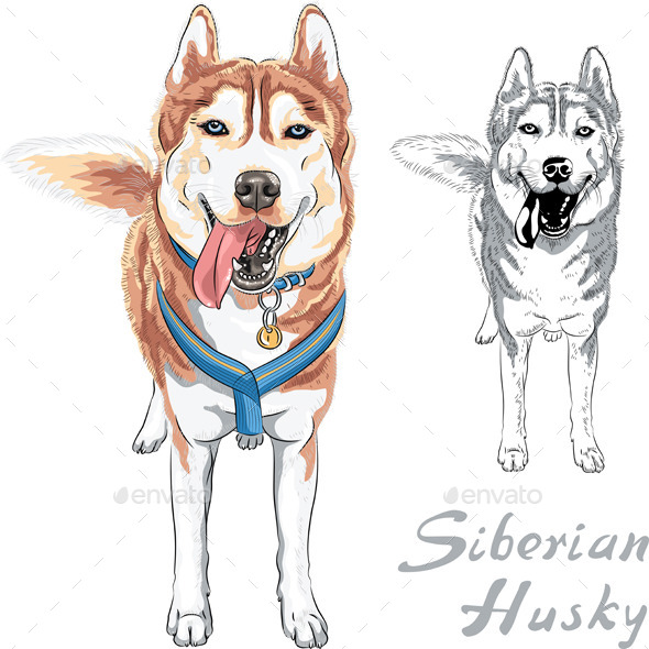 Siberian Husky Breed - Animals Characters