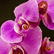 Purple Orchid Opening  - VideoHive Item for Sale
