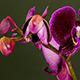 Purple Orchid Opening 2 - VideoHive Item for Sale