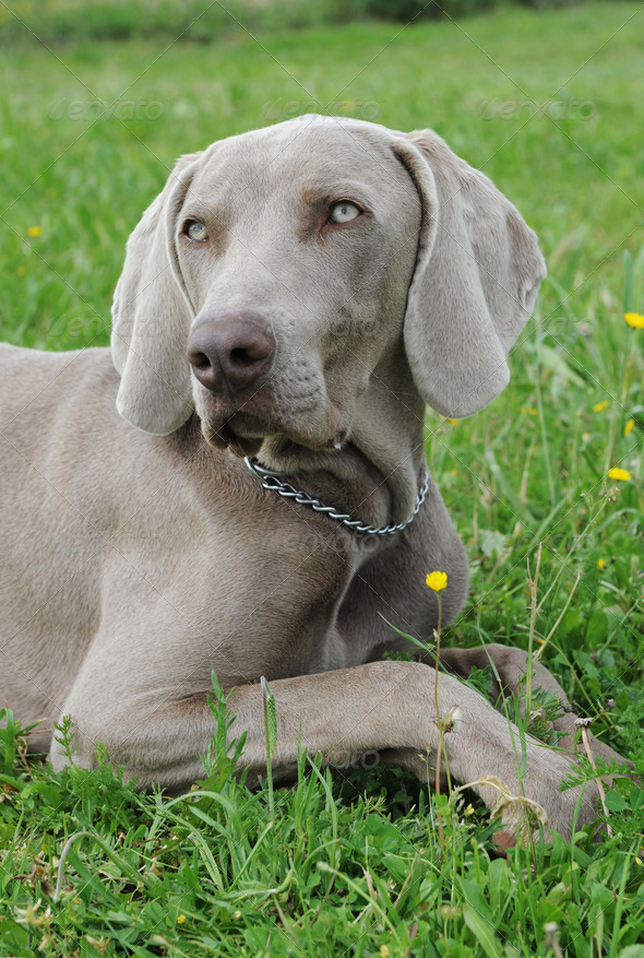 puppy weimaraner dog - Stock Photo - Images
