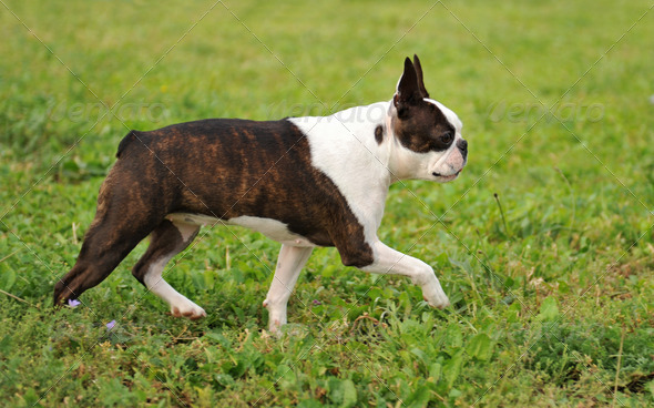 boston terrier - Stock Photo - Images