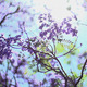 The Blue Jacaranda Tree - VideoHive Item for Sale