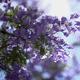 Jacaranda Flowers In Bloom - VideoHive Item for Sale