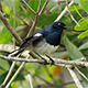 Oriental Magpie Robin (Copsychus saularis) - VideoHive Item for Sale