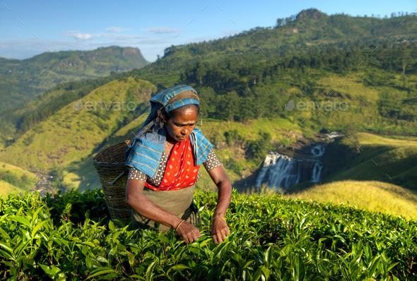 Indigenous Sri Lankan Tea Picker Picking Tea - Stock Photo - Images
