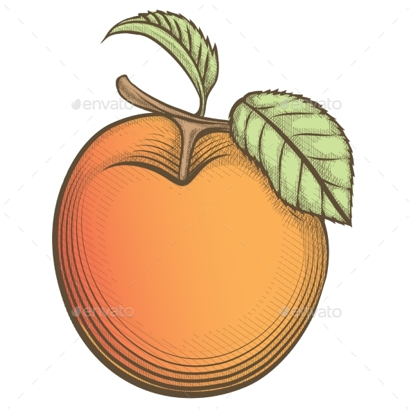 Engraving Apricot in Vintage Style - Objects Vectors