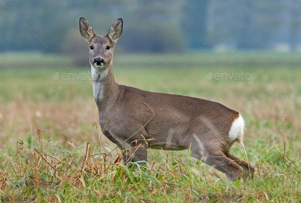 Roe deer peeing - Stock Photo - Images