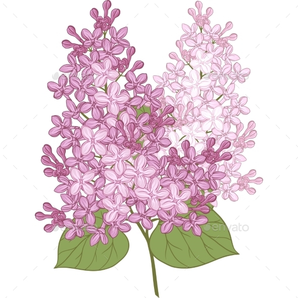 Lilac Flowers - Flowers & Plants Nature