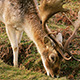 Wild Deer Eating - VideoHive Item for Sale