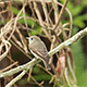 Asian Brown Flycatcher (Muscicapa latirostris) 03 - VideoHive Item for Sale