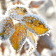 Dry Yellow Leaves With Rime in a Frosty Winter Day - VideoHive Item for Sale