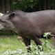 South American Tapir. Tapirus Terrestris 2 - VideoHive Item for Sale