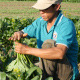Farmer Harvesting Vegetables - VideoHive Item for Sale
