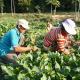 Family Harvesting Vegetables - VideoHive Item for Sale