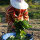 Female Harvesting Vegetable  - VideoHive Item for Sale