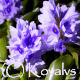 Water Hyacinth  2 - VideoHive Item for Sale