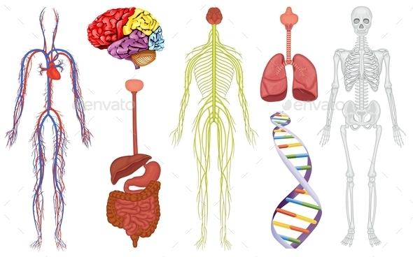 Body Organs - Health/Medicine Conceptual