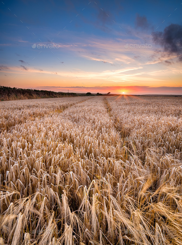 Barley Field in the Cornish Countryside - Stock Photo - Images