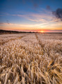Barley Field in the Cornish Countryside - PhotoDune Item for Sale