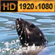 Cape Fur Seal Swim in the Sea  - VideoHive Item for Sale