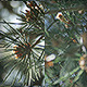 Pine Needles - VideoHive Item for Sale