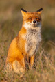 Red fox (Vulpes vulpes) sitting on hind legs - PhotoDune Item for Sale
