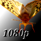 Butterfly on a Sunflower - VideoHive Item for Sale
