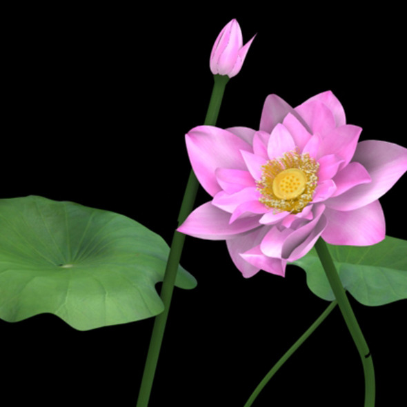 Lotus flower - 3DOcean Item for Sale