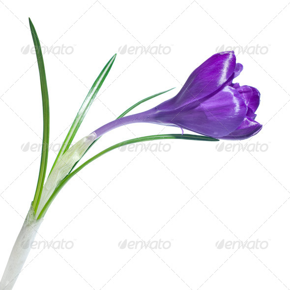 single crocus isolated on white - Stock Photo - Images