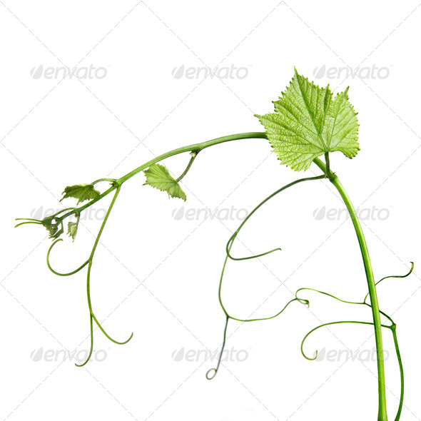 vine rod isolated on whine - Stock Photo - Images