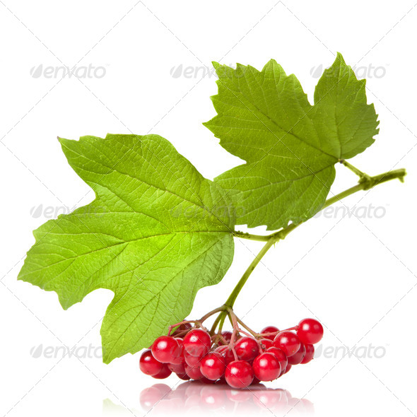Berries of red Viburnum with leaves isolated on white - Stock Photo - Images