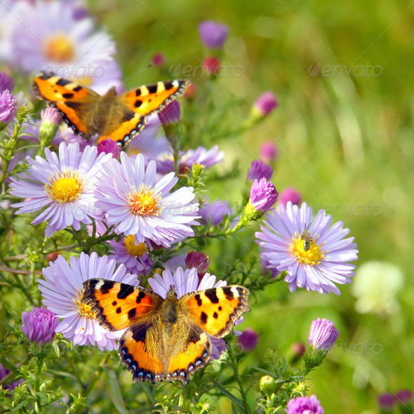 two butterfly on flowers - Stock Photo - Images