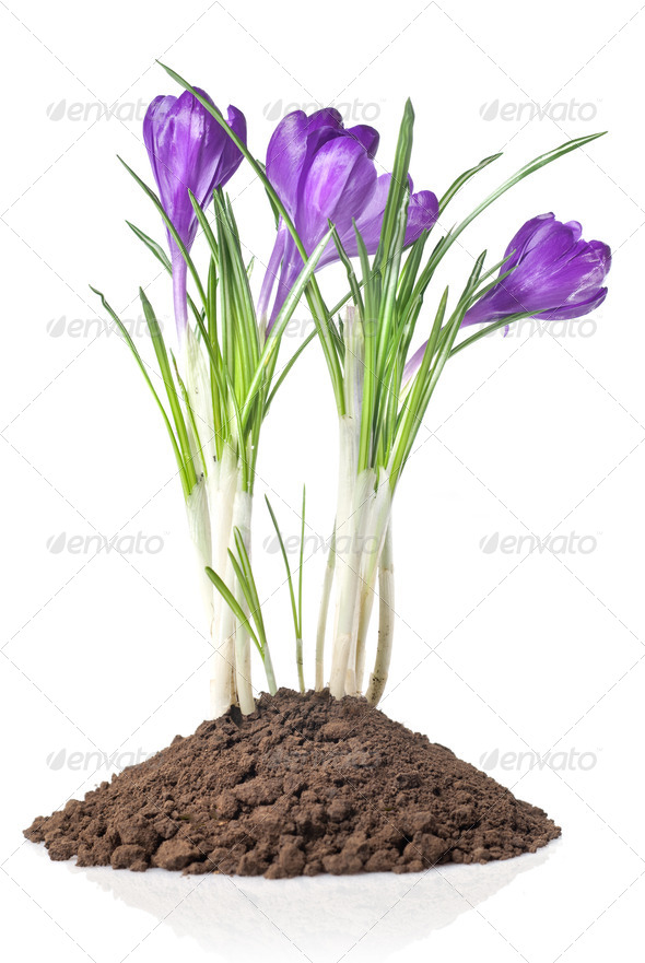 crocus in earth isolated on white - Stock Photo - Images