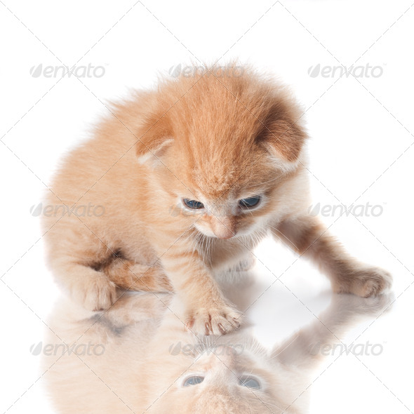 kitten looking on his reflection isolated on white - Stock Photo - Images