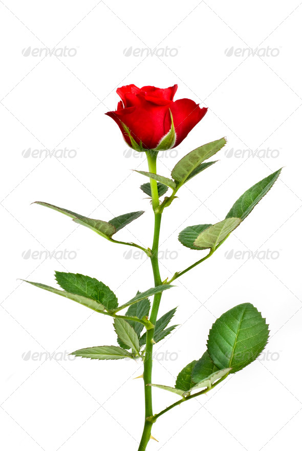 red rose isolated on white - Stock Photo - Images