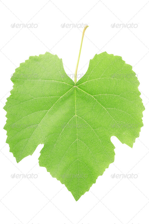 Grape leaf  - Stock Photo - Images